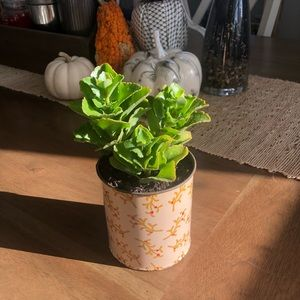 Real Paddle plant in pink/holly tin